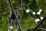 White-fronted Nunbird - Monasa morphoeus