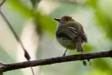 Scale-crested Pygmy-Tyrant - Lophotriccus pileatus