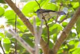 Amazonian Scrub-Flycatcher - Sublegatus obscurior