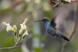 Sparkling Violetear - Colibri coruscans