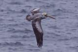 Peruvian Pelican - Pelecanus thagus