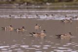 Crested Ducks - Lophonetta specularioides