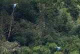 Military Macaws - Ara militaris