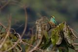 Golden-eared Tanager - Tangara chrysotis
