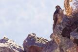 Variable Hawk - Buteo polyosoma