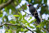 Black-fronted Nunbird - Monasa nigrifrons