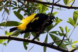 Yellow-rumped Cacique - Cacicus cela