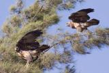 Black-chested Buzzard-Eagles - Geranoaetus melanoleucus
