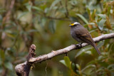 Crowned Chat-Tyrant - Ochthoeca frontalis