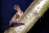 Brown Long-eared Bat - Plecotus auritus