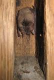 Grijze Grootoorvleermuis - Plecotus austriacus