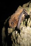 Gewone Dwergvleermuis - Pipistrellus pipistrellus