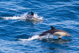 IMG_0002_common dolphin.jpg