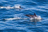 IMG_0003_common dolphin.jpg