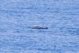 IMG_0329_cuviers beaked whale.jpg
