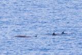 IMG_0353_cuviers beaked whale.jpg