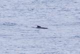IMG_0446_long-finned pilot whale.jpg