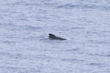 IMG_0470_long-finned pilot whale.jpg