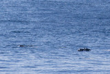IMG_9922_striped dolphins.jpg
