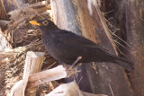 Blackbird - Turdus merula cabrerae
