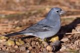 Teyde Finch - Fringilla teydea