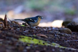 Canary Islands Chaffinch - Fringilla [coelebs] tintillon