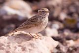 Lesser Short-toed Lark - Calandrella rufescens rufescens