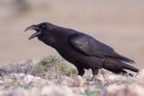African Raven - Corvus [corax] tingitanus
