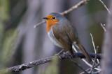 Tenerife Robin - Erythacus [rubecula] superbus