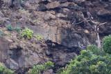 Laurel Pigeon - Columba junoniae
