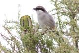 Southern Grey Shrike - Lanius meridionalis koenigi