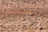 Canary Islands Bustard - Clamydotis [undulata] fuerteventurae