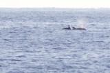 Bottlenosed Dolphins - Tursiops truncatus
