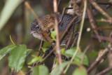 Bar-winged Wren Babbler  - Spelaeornis troglodytoides