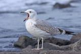 Pontische Meeuw / Pontic Gull
