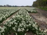 Lisse, hyacinthen