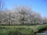 Maurik - bloeiende kersenboomgaard