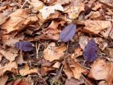 Trio of dark purple leaves - the same color as purple cabbage