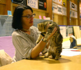 S*Callidoras Hold Me, browntabby exotic boy - here with judge Annika Billing