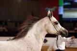 Arabian Horses (2).jpg