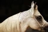 Arabian Horses (6).jpg