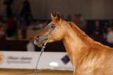 Arabian Horses (8).jpg