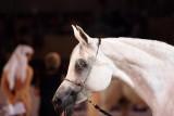 Arabian Horses (26).jpg
