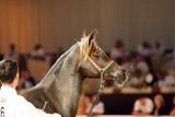 Arabian Horses (29).jpg
