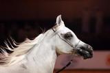 Arabian Horses (38).jpg