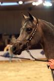 Arabian Horses (73).jpg