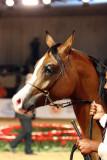 Arabian Horses (74).jpg