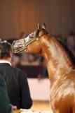 Arabian Horses (80).jpg