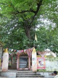 015-Very Ancient Tree near the vyasa peetam.JPG