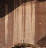 2009 April Dominguez canyon CO bighorn sheep